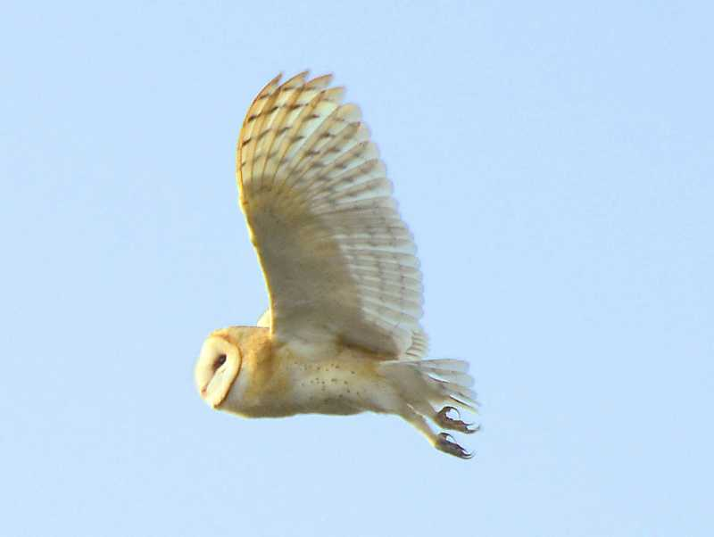 by: VERN UYETAKE - An owl flies away to freedom after being released. It is hoped it will stick around to help with the severe rodent problem at Luscher Farm.