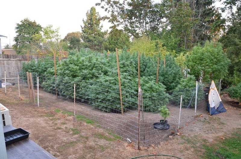 by: SUBMITTED - Washington County Sheriff's deputies discovered 21 large marijuana plants growing in the backyard of Sarah Bennet during a raid of her home, last Thursday.