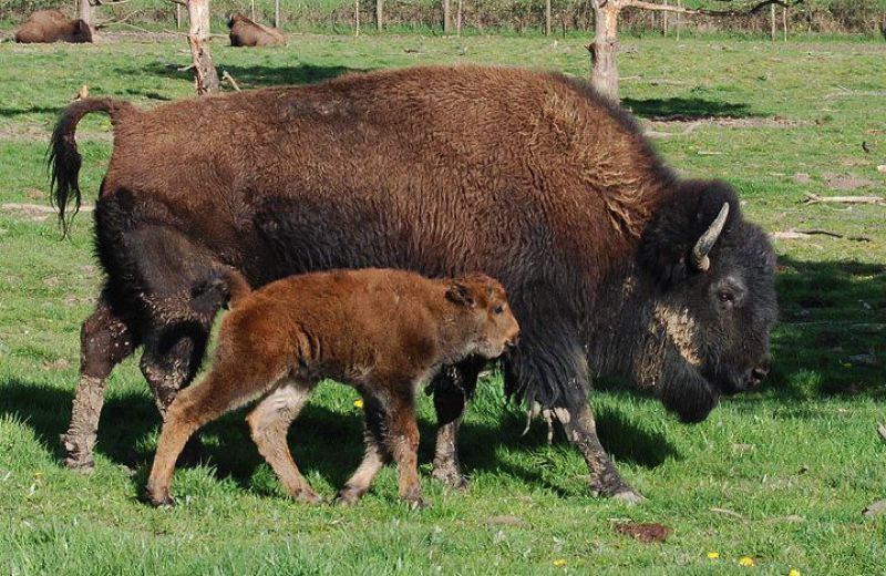 by: COURTESY OF L-BAR-T BISON RANCH - Six young buffalo from the L-Bar-T Bison Ranch south of Forest Grove (not these pictured) had to be put down Tuesday after they escaped from a pen. Ranch owners say someone tampered with a gate that allowed the bison to escape.