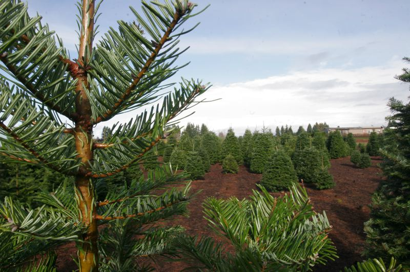 by: OUTLOOK PHOTO: JIM CLARK - Christmas trees waiting to be cut at Dutcher's Farm in Boring.