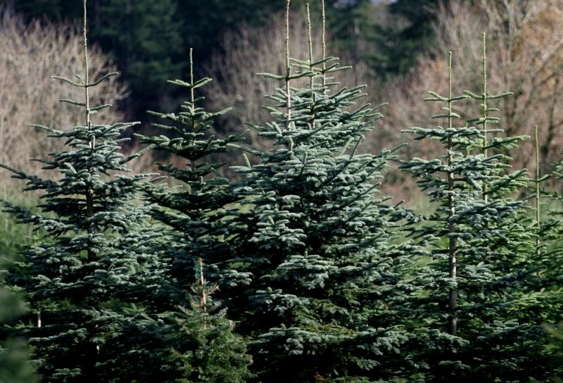 by: OUTLOOK PHOTO: JIM CLARK - Noble fir Christmas trees at Dutcher's Tree Farm.