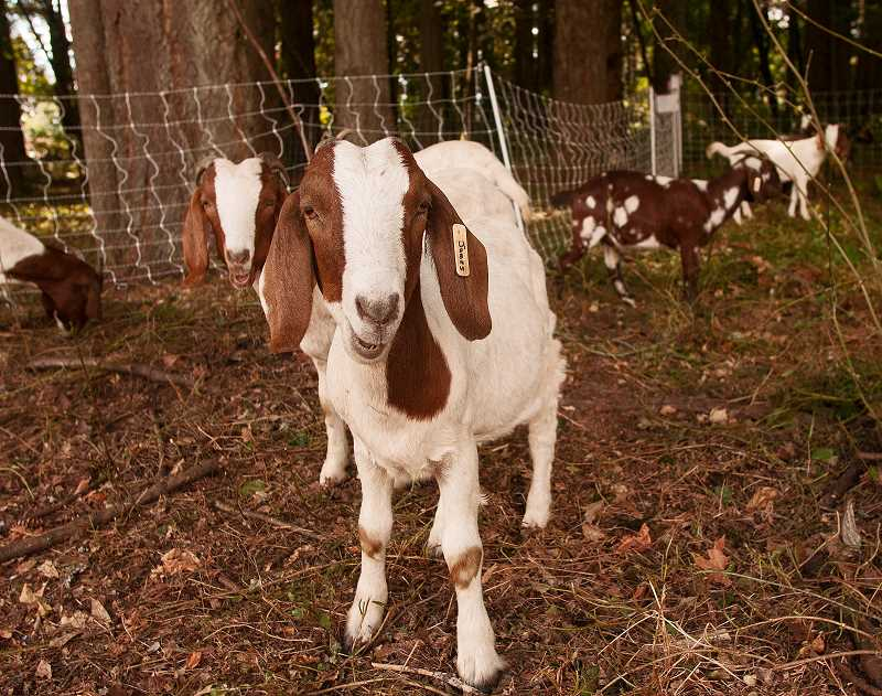by: JOSH KULLA - Goats are an environmentally friendly way to control invasive plant species. A bonus, they are cute and fun to watch.