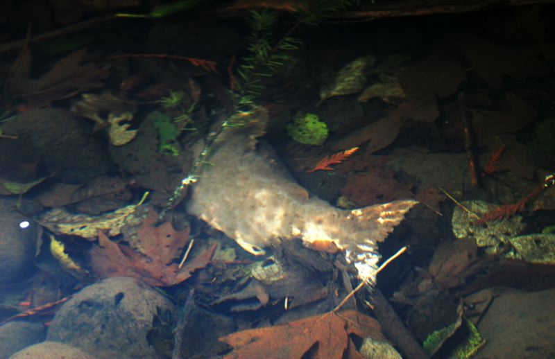 by: OUTLOOK PHOTO: JIM CLARK - A dead salmon carcass has returned to the bottom of the food chain in the South Fork of Beaver Creek.