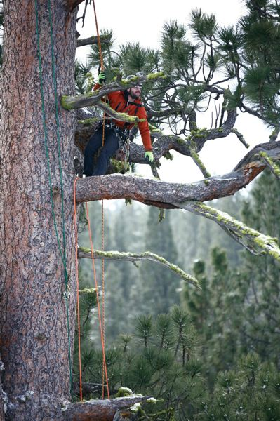 by: PHOTO BY ALEX RAGUS - Brian French is shown above measuring the national champion Pinus ponderosa, or Ponderosa pine. The tree, located in Oregons La Pine State Park, is the largest of its species; it is visited by thousands of people each year.
