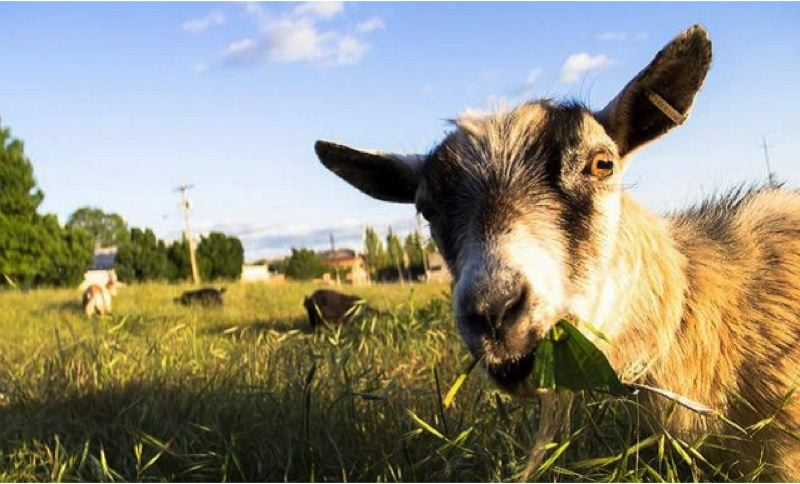 by: KOIN NEWS 6 - The goatys who have been living along Southeast 10th Avenue in Southeast Portland need some money to move to their new home in Lents.