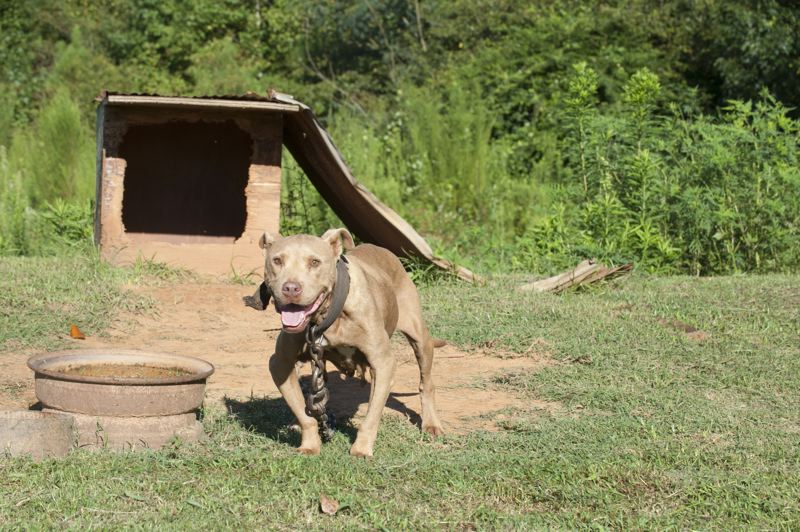 by: PHOTO COURTESY: JO BECKER - One of the rescue dogs is chained up outside a 'doggy-shack' without food or water within reach before being seized by the Humane Society of the U.S.