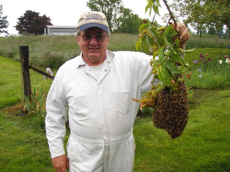 by: COURTESY PHOTO - Jerry Maasdam of the Tualatin Valley Beekeepers Association collects a swarm in Washington County last spring without a veil or gloves.