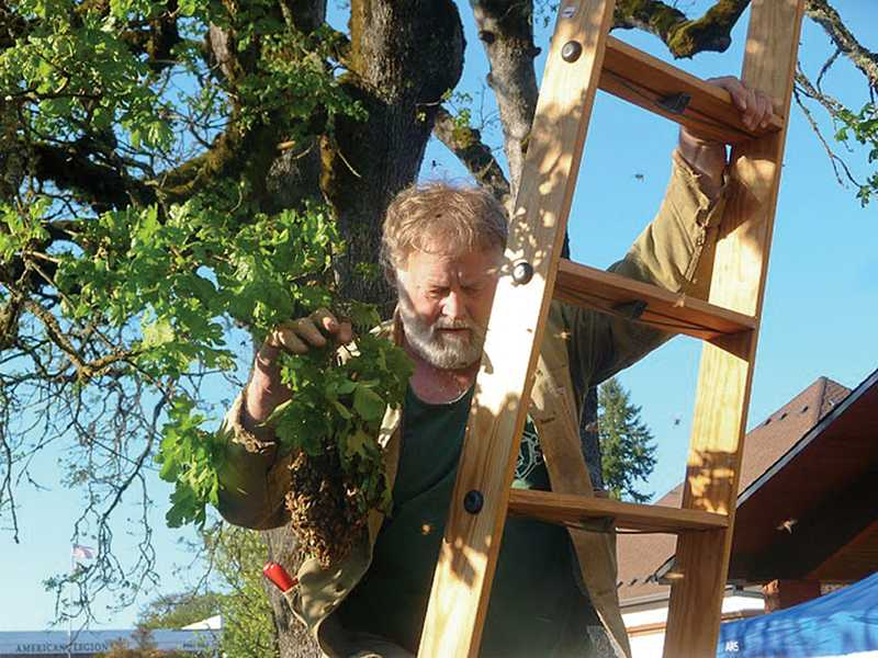 by: COURTESY PHOTO - Rudy Marchesi from Montinore Estate manages a bee swarm while balancing on a ladder.