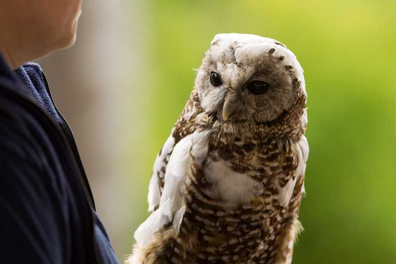 by: TIMES PHOTO: DAVID BLAIR - Guests learned about the spotted owl and other native birds at the Tualatin River Bird Festival.