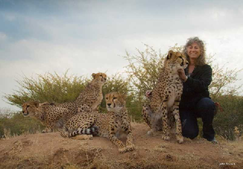 Photo Credit: SUBMITTED PHOTO: JOHN BOWERS - Big Cat, Big Party, a benefit for Cheetah Conservation Fund, will be held from 5 to 8:30 p.m. Oct. 5 at the Oregon Zoo, 4001 SW Canyon Road in Portland. The event supports Tyler Prize-winning conservationist Dr. Laurie Marker and her Namibia-based Cheetah Conservation Fund. The event features drinks, dinner, music and silent and live auctions. Tickets are available now for $125 per person; after Sept. 5 the price increases to $150. Purchase online at ccforegon.org.