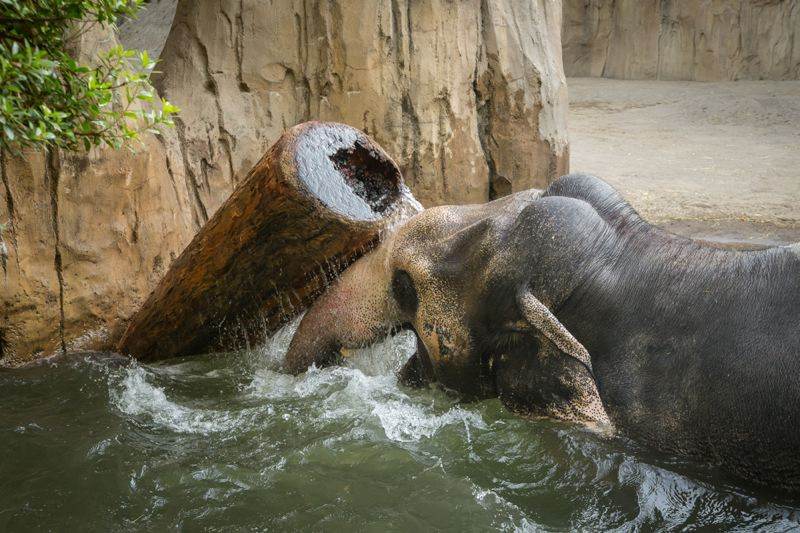 Photo Credit: MICHAEL DURHAM, COURTESY OF THE OREGON ZOO. - A 500 pound log is just a toy for Packy.