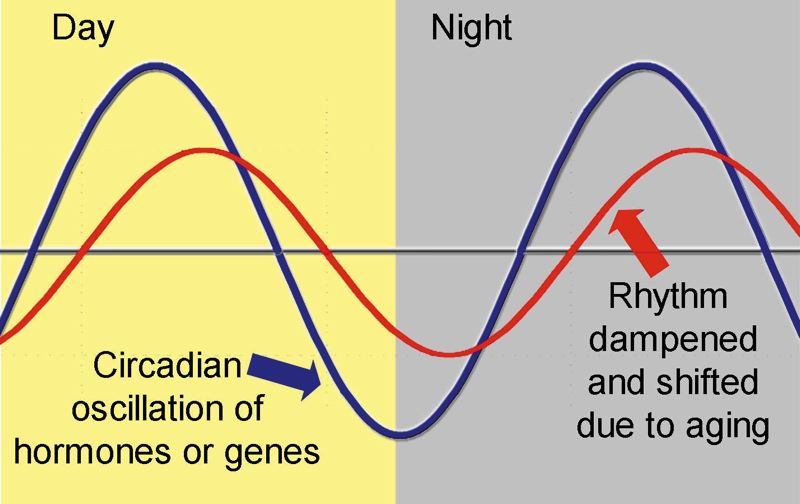 Photo Credit: GRAPHIC COURTESY OF OREGON STATE UNIVERSITY - With age, circadian rhythms can lose their proper synchronization, and also become less pronounced.