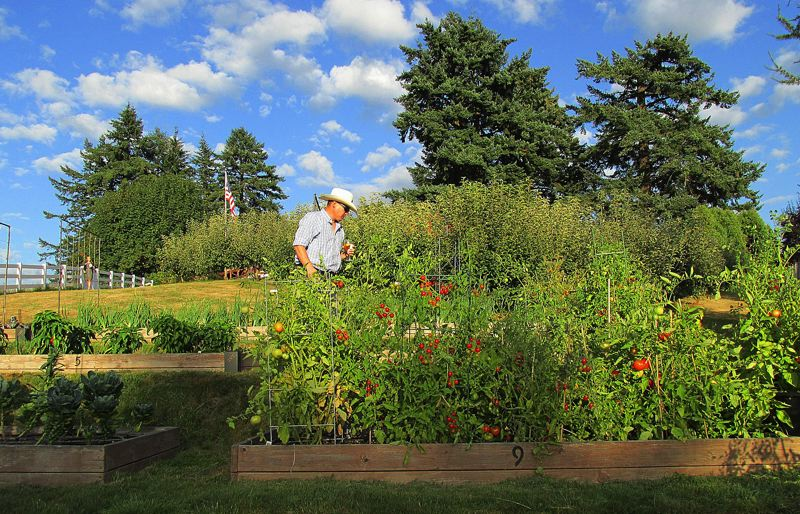 Photo Credit: OUTLOOK PHOTO: BEVERLY CORBELL - Birch Community Services garden manager Matt Takahashi looks at crops at the Sunderland community garden.