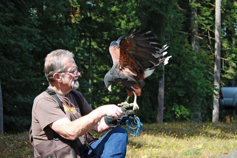 SUBMITTED PHOTO - Master falconer Ron Richter watches Chili, his Harris hawk, stretch her wings during a recent outing. Richter and two other falconers will show their birds of prey on Sept. 26 at the Springs at Clackamas Woods.