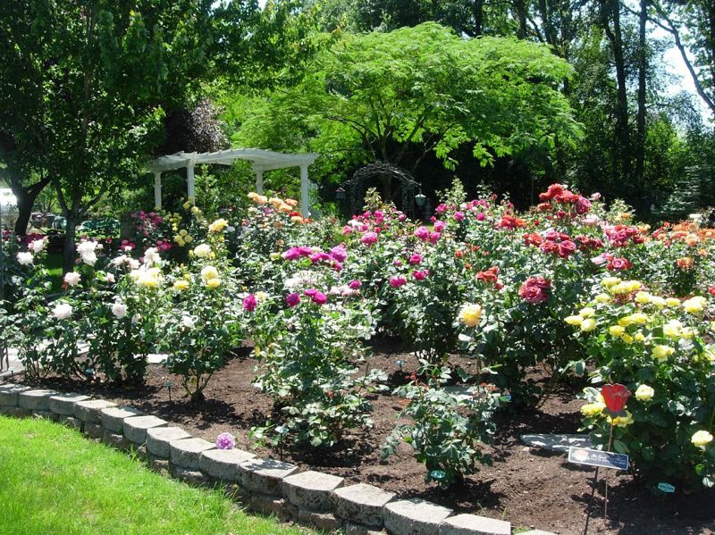 Rosarians hope to see rose contest blossom