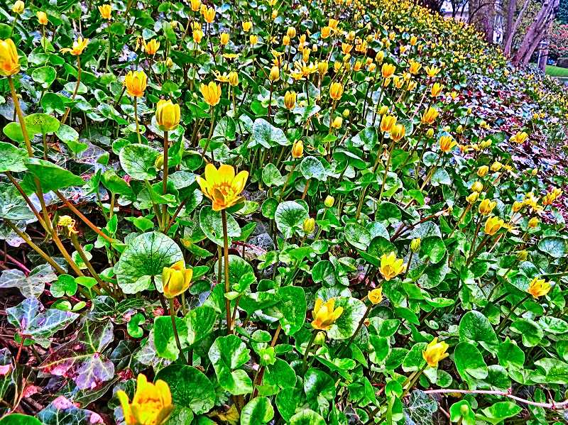 COURTESY OF JIM WYGANT - You really dont want invasive Lesser Celandine (shown) in - or anywhere near - your yard!