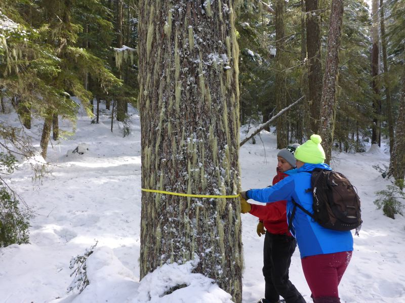 COURTESY OF BARK - Bark volunteers measure a 35-inch hemlock in part of Mount Hood National Forest where the timber sale is proposed.