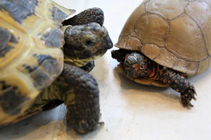 Left, Baryshnikov, a Russian tortoise, and Turtle Dee, a box turtle, are residents of the turtlearium at Neptune Studio, the working art studio of Jan Rimerman and Dave Haslett.