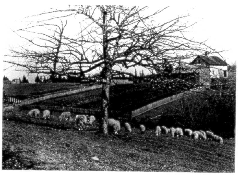 PHOTO COURTESY OF THE COOK FAMILY - Sheep graze below the Shipley barn in this early view from Stevens Meadow.