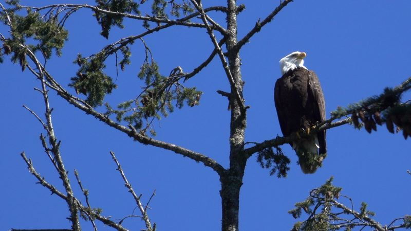 COURTESY: MICHAEL DURHAM/OREGON ZOO - A wild bald eagle perches in a tree above the Oregon Zoo.