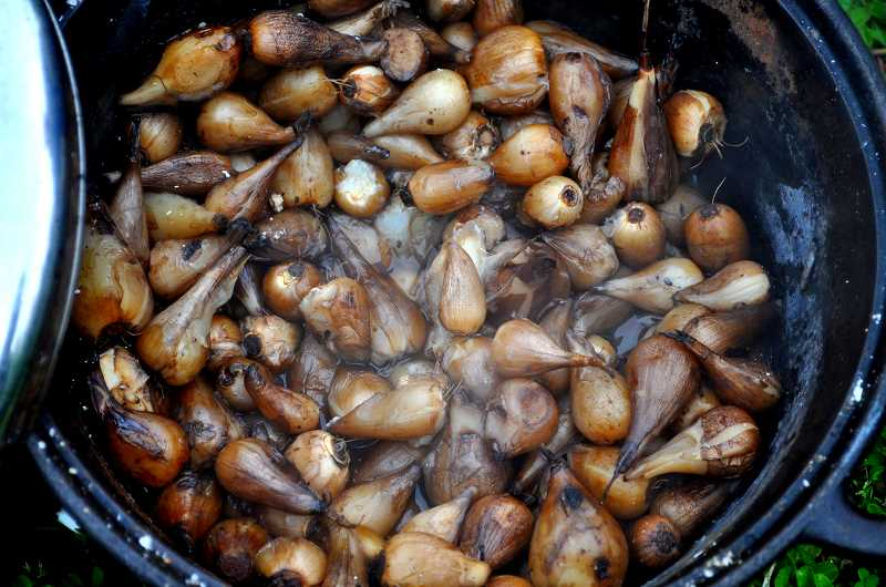 COURTESY PHOTO:  KLAHOWYA - Camas bulbs are very high in protein and were cooked and preserved in a variety of ways by native peoples.
