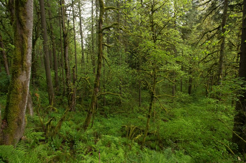 OUTLOOK PHOTO: JOSH KULLA - Lush temperate rainforest is the name of the game in the Sandy River Gorge Preserve, a 156-acre property owned by the Nature Conservancy. The group, however, plans to divide the property between the Metro regional government and heirs to the Diack family, which once owned the land.