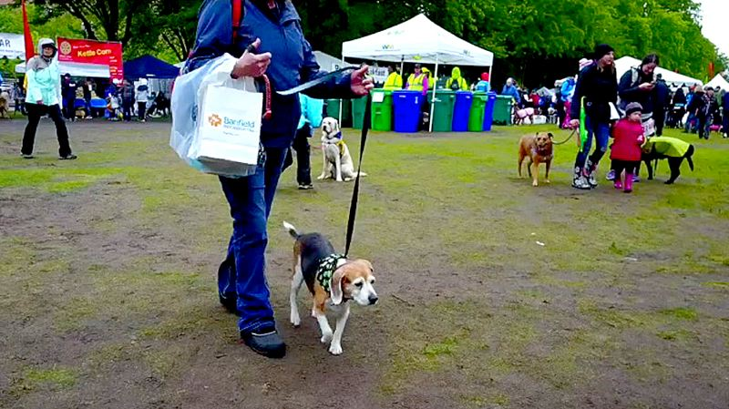 COURTESY PHOTO - More than 3,000 dogs and their human companions gathered Saturday, May 13, for the 30th annual Oregon Humane Society's Doggie Dash. The soggy event raised about $645,000 toward the group's fundraising goal.