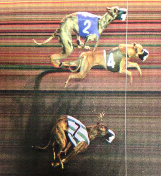 PAMPLIN MEDIA GROUP: JOSH KULLA - Greyhounds make it a photo finish at the now-defunct Multnomah Kennel Club in Fairview.