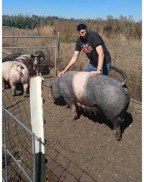 Brandon Chase working with his pigs.