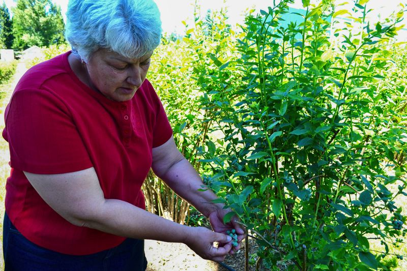 POST PHOTO: BRITTANY ALLEN - Lana Davis inherited her blueberry plants when she and her mother bought the Eagle Creek property years ago.