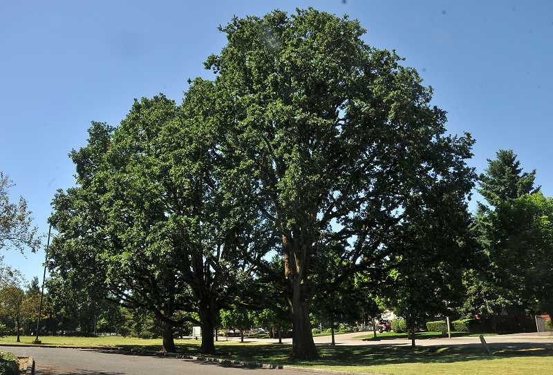 SPOKESMAN PHOTO: VERN UYETAKE - The Three Sisters Oaks on Kinsman Road are Wilsonvilles newest Heritage Trees, with the help of the Wilsonville-Boones Ferry Historical Society.