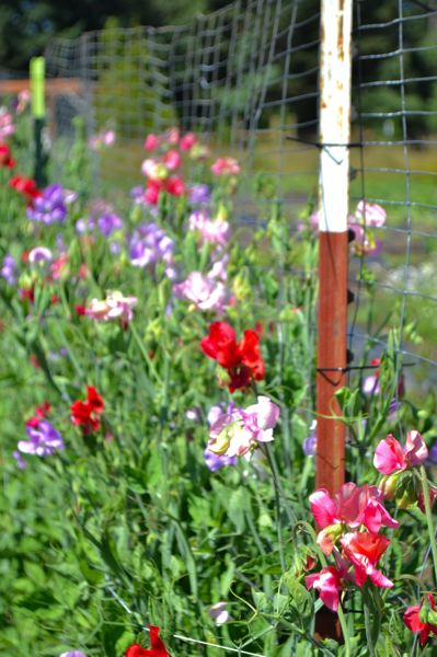 POST PHOTO: BRITTANY ALLEN - Hollyhock Farms grows over 23 varieties of flowers, including sweat peas, snapdragons and more.