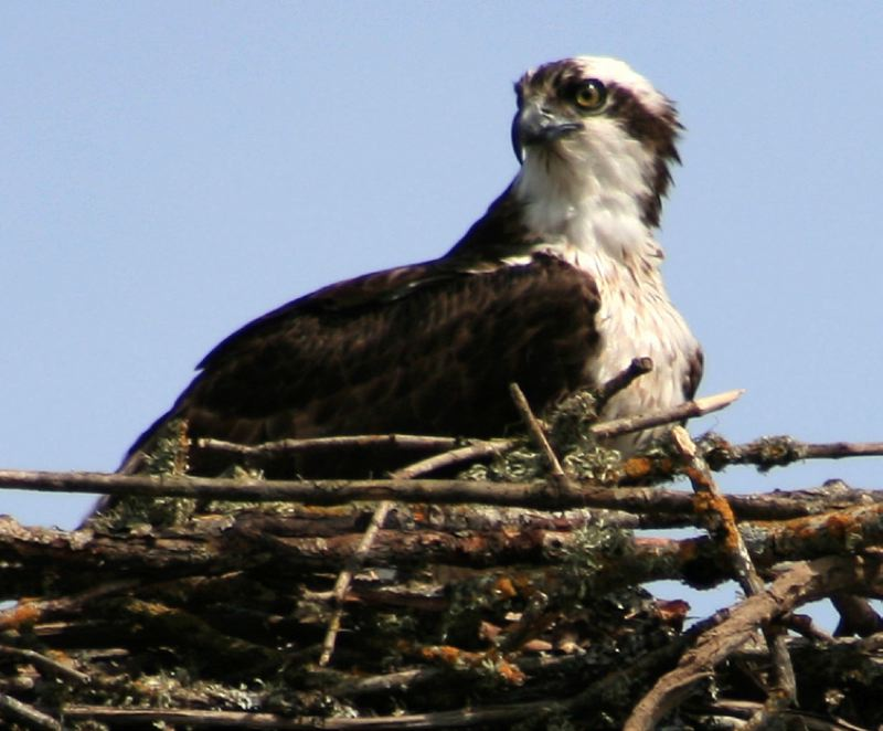 COURTESY OF THE OREGON DEPARTMENT OF FISH AND WILDLIFE - Ospreys, designated by lawmakers Friday as Oregon's official state raptor, are birds of prey that feed predominantly on fish.