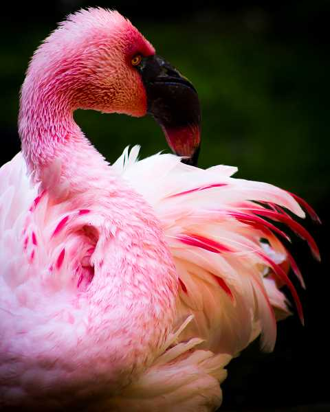 SUBMITTED PHOTO - Danielle Lindamood's goal in her photography is to capture nature and its beauty, like this flamingo photographed at the Oregon Zoo.