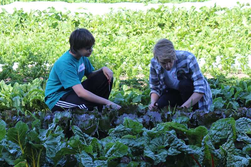 SPOKESMAN PHOTO: ANDREW KILSTROM - Interns Steven Nuffer, left, and Donald Nuffer harvest lettuce and kale at the CREST Farm Wednesday, July 19.