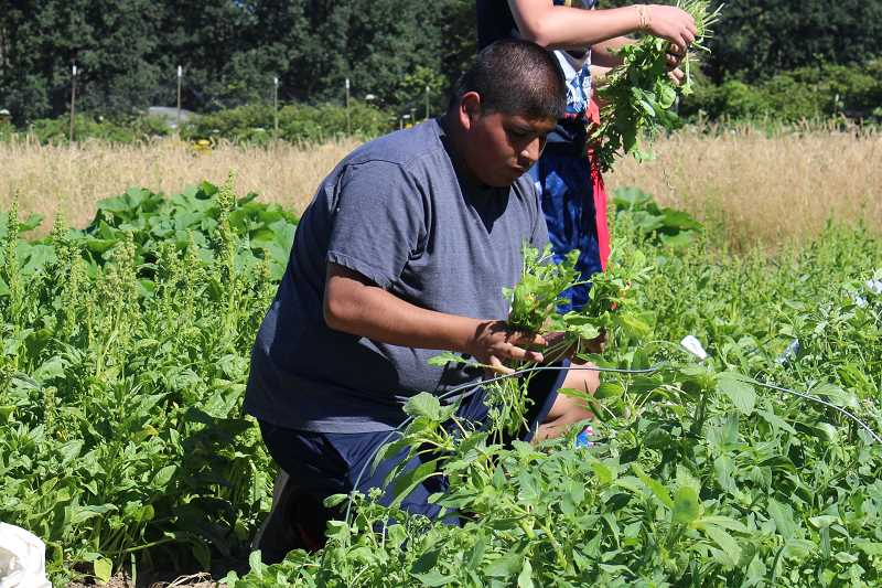 SPOKESMAN PHOTO: ANDREW KILSTROM - Alberto Murillo bundles arugula at CREST Farm.