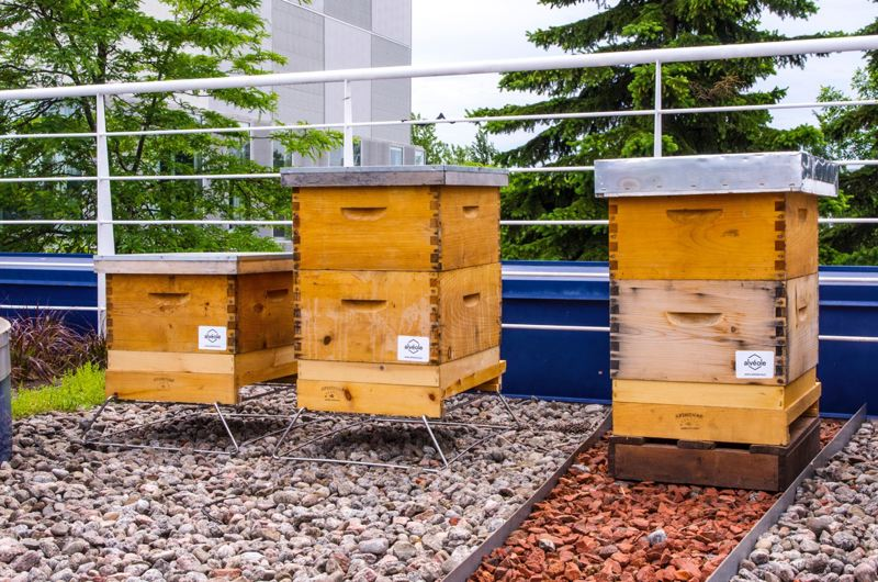 COURTESY CIRQUE DU SOLEIL  - Bee hives produce honey at the Cirque du Soleil headquarters and help raise awareness of the companys staff.