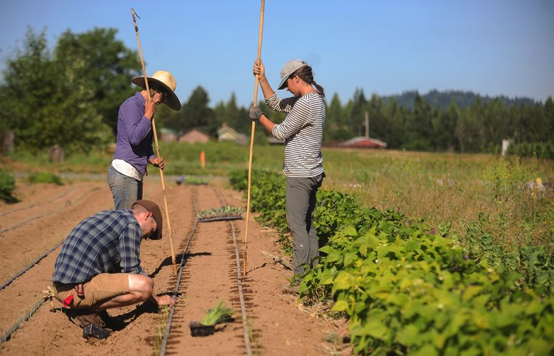 OUTLOOK PHOTO: JOSH KULLA - Steven Grams, Mary Columbo and Jessica Pavlenko prepare a row for planting at Wild Roots Farm in Gresham.
