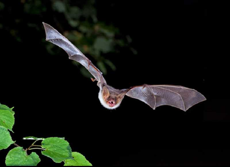 COURTESY PHOTO: WIKIMEDIA COMMONS - A bat found in Marion County has tested positive for rabies.