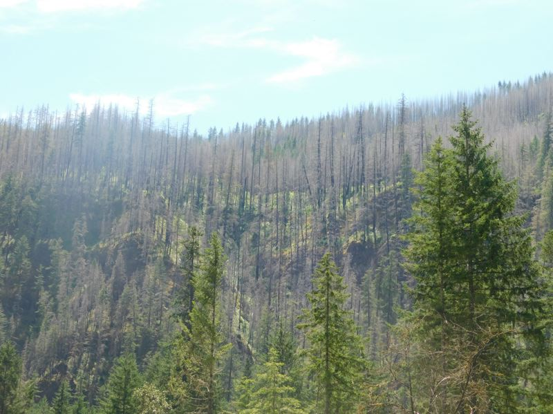 ESTACADA NEWS PHOTO: EMILY LINDSTRAND - Three years after the 36 Pit Fire, the Mt. Hood National Forest is a mixture of both green trees and burnt trees.