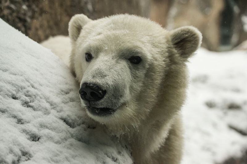 COURTESY PHOTO: SHERVIN HESS/OREGON ZOO - Nora, the Oregon Zoo's young polar bear cub, played in the snow early this year. She's heading to Utah in September as the zoo plans to expand the polar bear habitat.
