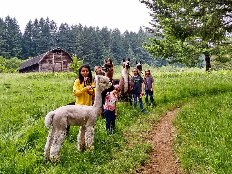 SUBMITTED PHOTO: KANEESHA BANKS - Kaneesha Banks (front) and her 4H friends work with their llamas in Mollala in preparation for next week's Clackamas County Fair. 'The 4H program has taught me that I'm not just a city person,' she says. 'Even if you're from somewhere like Lake Oswego, you can still have a bit of a country side.'