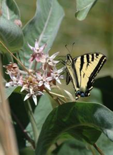 COURTESY PHOTO  - Showy milkweed