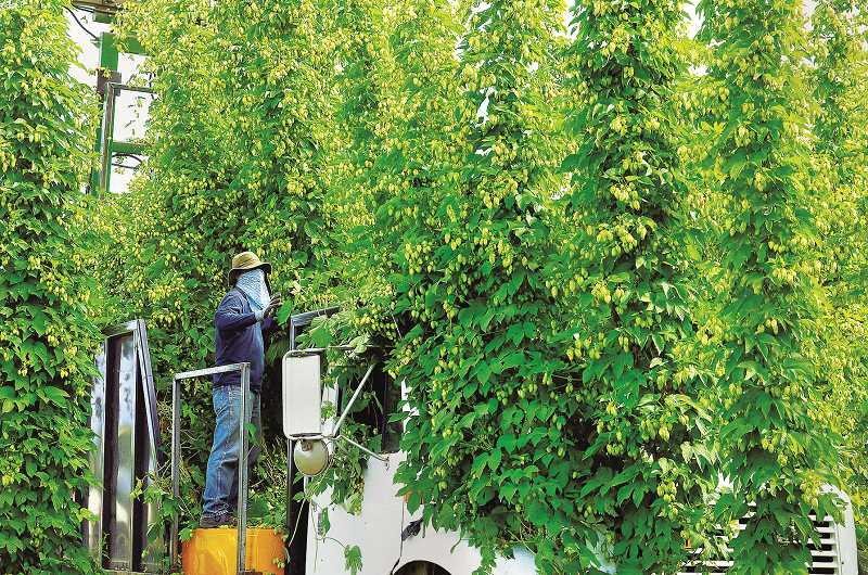 GARY ALLEN - A worker  strings up recently-harvested hops for processing at a B&D Farms facility near St. Paul.