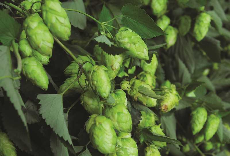 GARY ALLEN - The hop cones (left) are separated from the vine before being dried and bailed for shipping to breweries