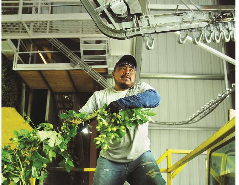 GARY ALLEN - Once brought in from the fields the hop vines are strung up and transported to a machine that harvests the cones before they are dried and baled.