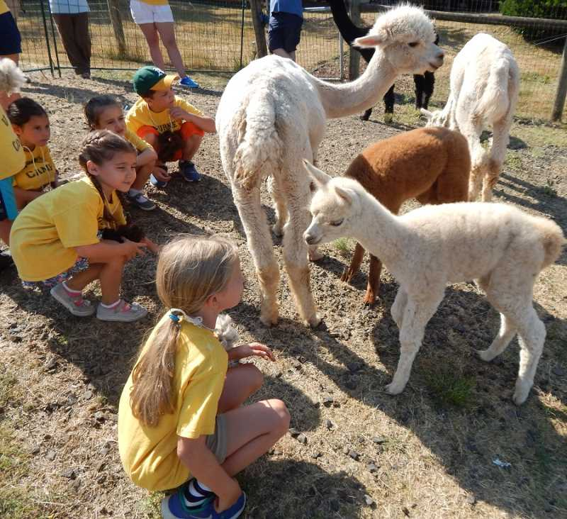 SHERWOOD GAZETTE PHOTO: BARBARA SHERMAN - Young campers especially loved interacting with two baby alpacas that were in the pen with their moms and other friendly members of the herd.