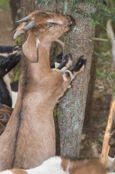 NEWS-TIMES PHOTO: CHRISTOPHER OERTELL - The goats enjoyed the selection of food in the Thatcher City Park woods.