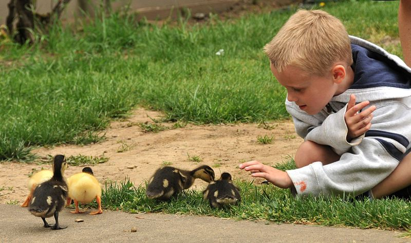 FILE - Ryan McAuliffe reaches out to touch a duckling.