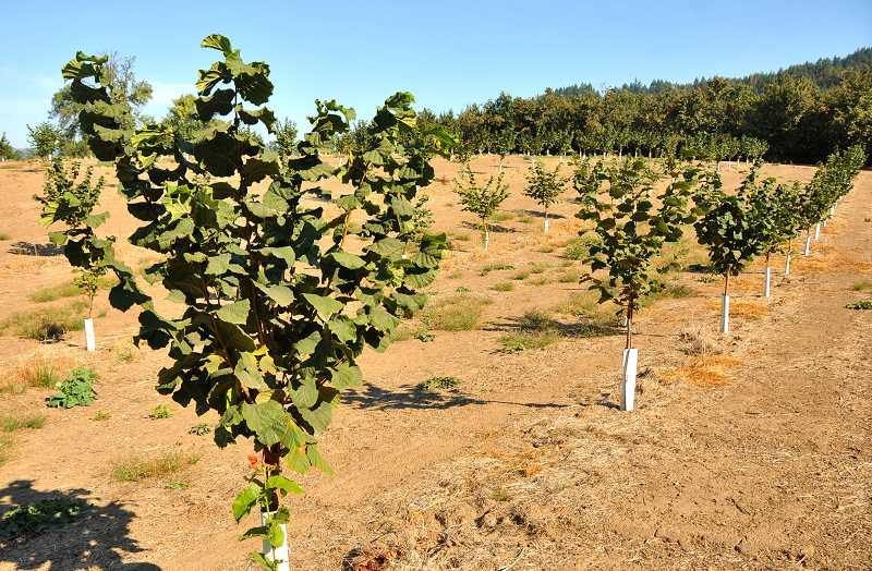 SPOKESMAN PHOTO: VERN UYETAKE - With two hazelnut orchards running along Wilsonville Road, Richmond says that using solar to power their irrigation has saved money on the electric bill while simultaneously making the farm more sustainable.